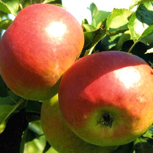 Саженцы яблони Жигулевское