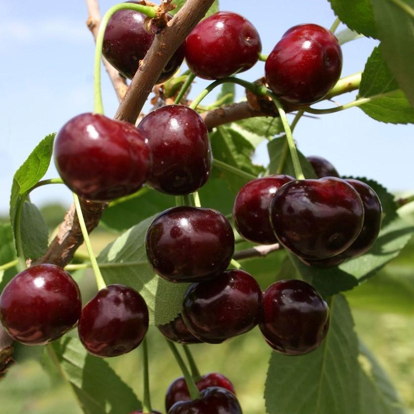 Саженцы вишни Жуковская
