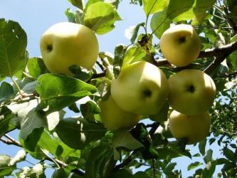 Саженцы яблони Золотое Летнее