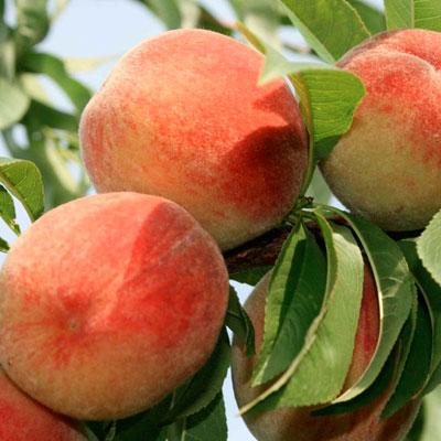 Саженцы персика Золотой Юбилей