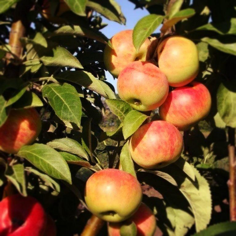 Саженцы яблони Баргузин колоновидная