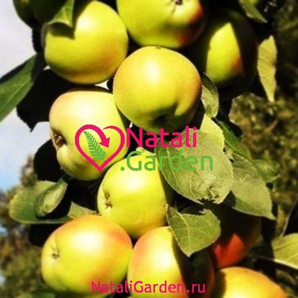 Саженцы яблони Болеро колоновидная