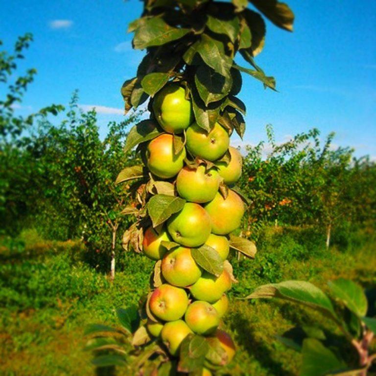Саженцы яблони Медок колоновидная