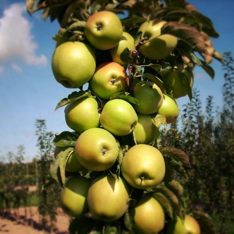 Саженцы яблони Трайдент колоновидная