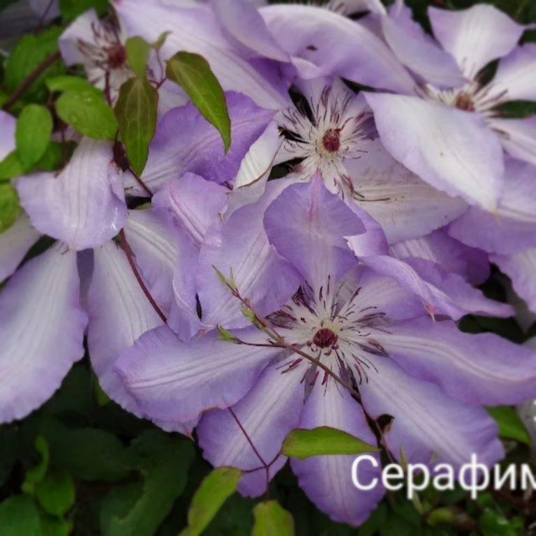 Саженцы Клематис Серафина (Serafina)