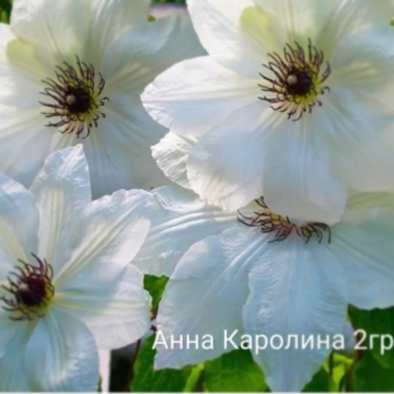 Саженцы Клематис Анна Каролина (Anna Karolina)
