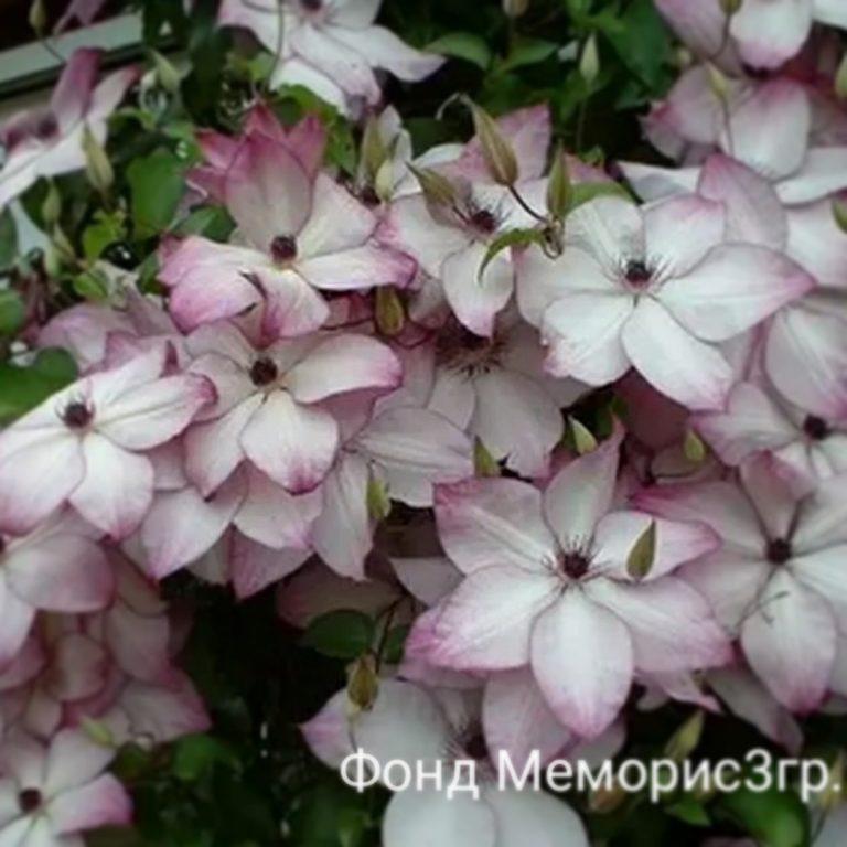 Саженцы Клематис Фонд Меморис (Clematis Fond Memories)