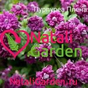 Саженцы Пурпуреа Плена Элеганс (Purpurea Plena Elegans)