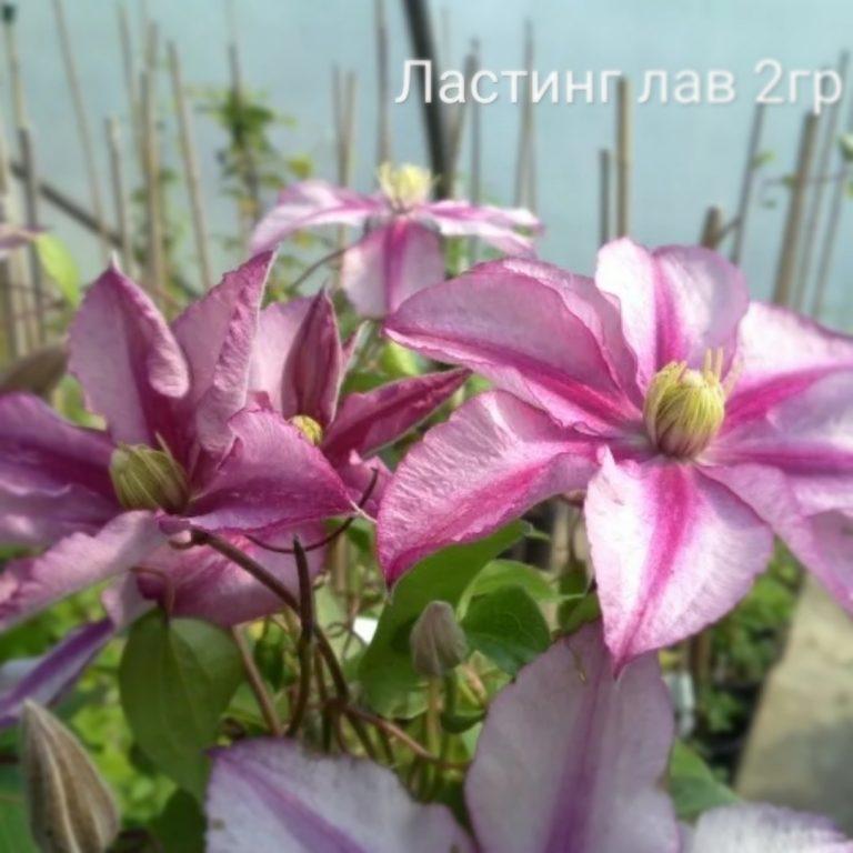 Саженцы Клематис Ластинг Лав (Lasting Love)
