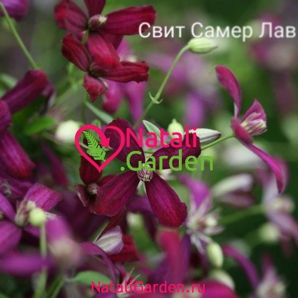 Саженцы Клематис Свит Саммер Лав (Sweet Summer Love)