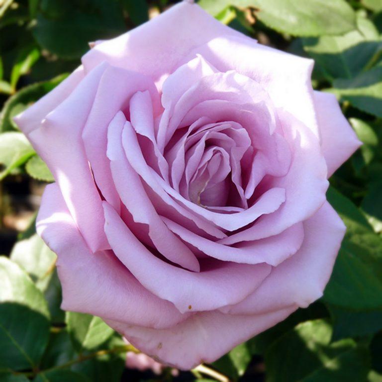 Саженцы розы Blue Bird (Блю Берд, Синяя Птица)