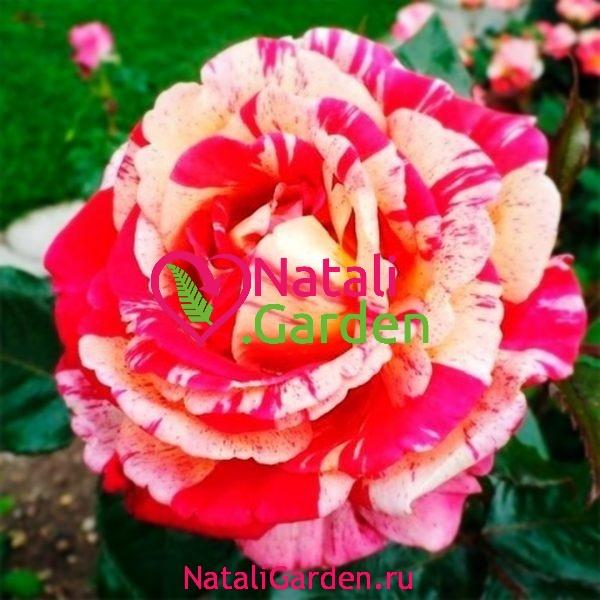 Саженцы розы Broceliande (Броселианд)
