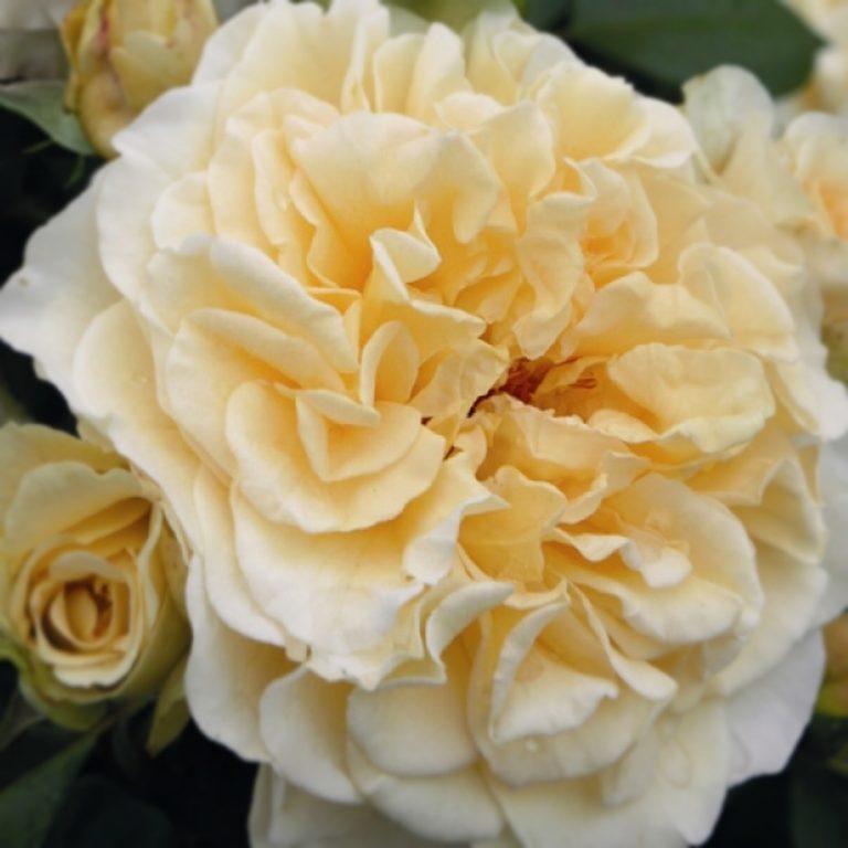 Саженцы розы Комтесса (Comtessa)