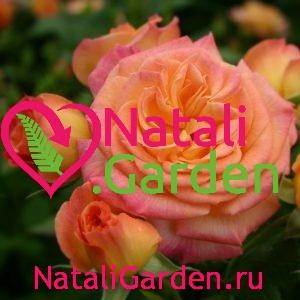 Саженцы розы Gartenspass (Гартеншпас, Хамелеон)