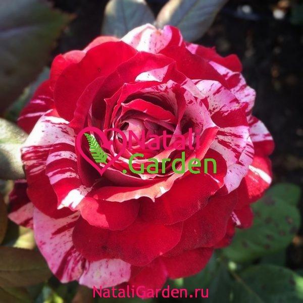Саженцы розы Хулио Иглесиас (Julio Iglesias)