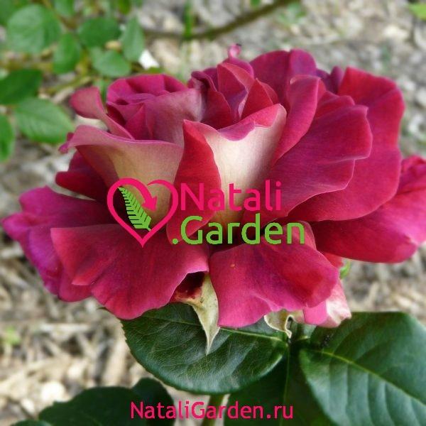 Саженцы розы Кроненбург (Kronenbourg)
