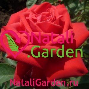 Саженцы розы Litke (Литке)
