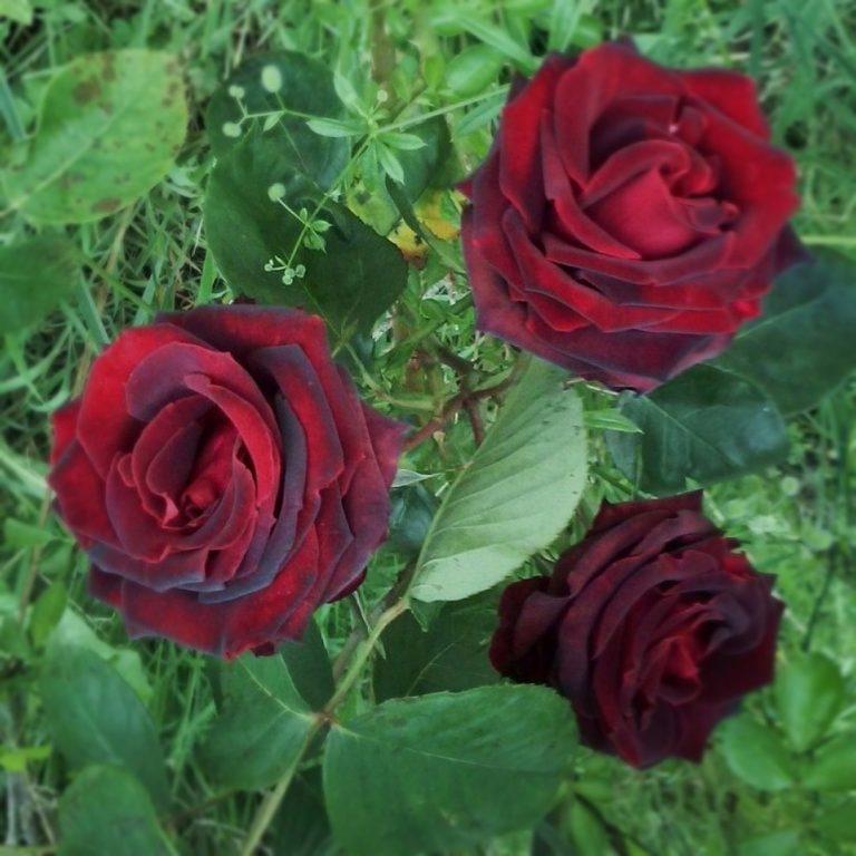 Саженцы розы Папа Мейян (Papa Meilland)