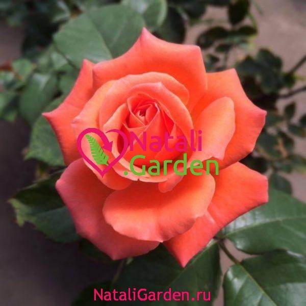 Саженцы розы Тропикана (Tropicana)