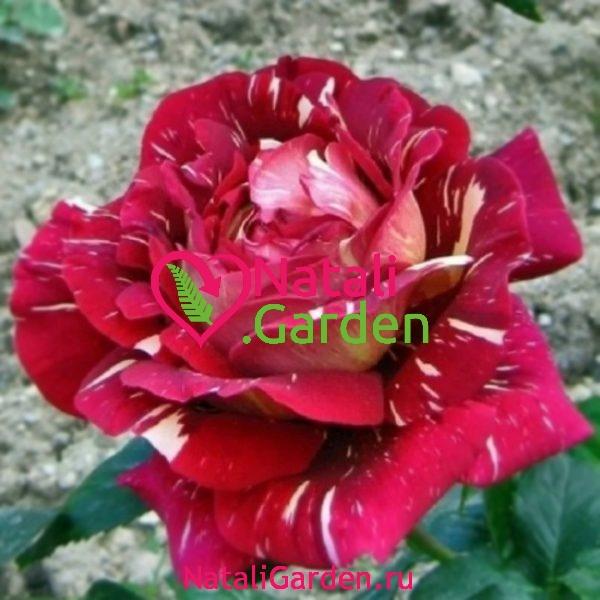 Саженцы розы Пестрая Фантазия