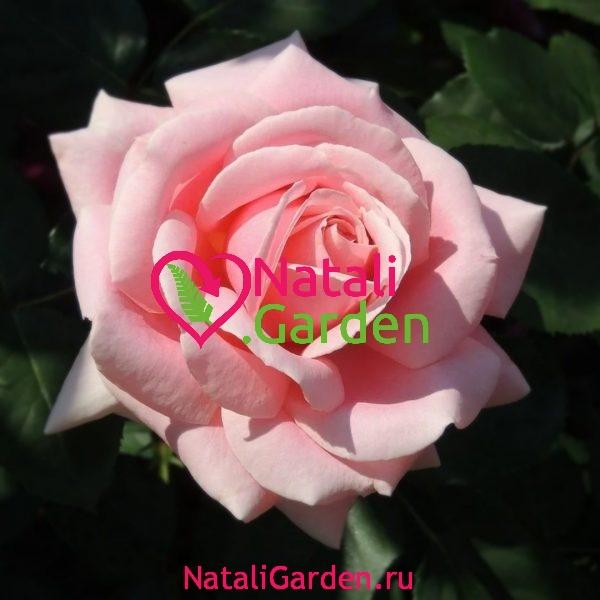 Саженцы розы Фредерик Мистраль (Frederik Mistral)