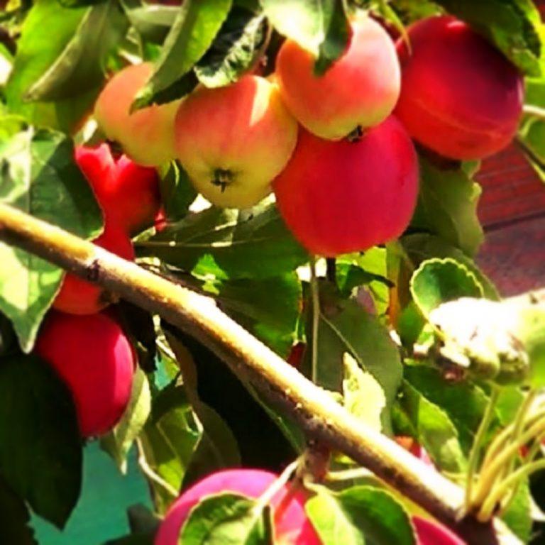 Саженцы яблони Раечка