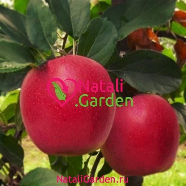 Саженцы яблони Гала