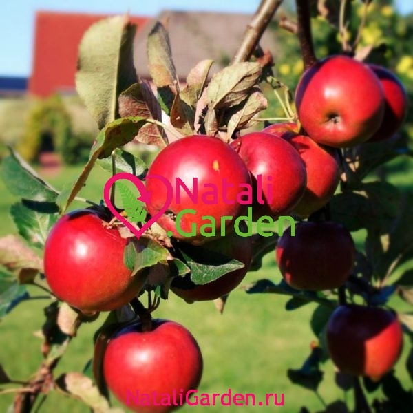 Саженцы яблони Джонатан