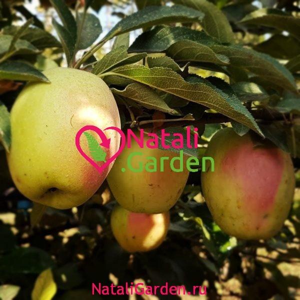 Саженцы яблони Кандиль Синап