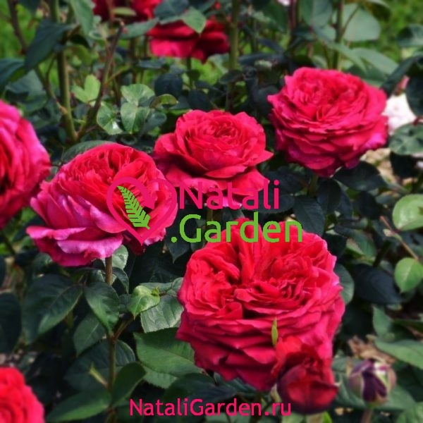 Саженцы роз 4 ветров (Rose des 4 Vents)
