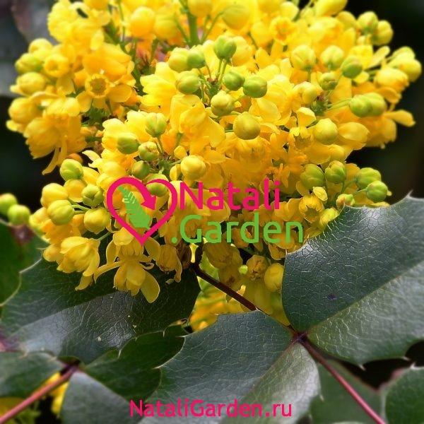 Магония падуболистная (Mahonia aquifolia)