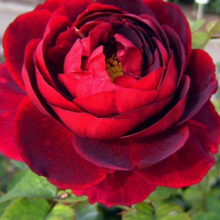 Саженцы роз Эл Ди Брейтуэйт ( L.D. Braithwaite)