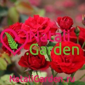 Саженцы роз флорибунда Нина Вейбул (Nina Weibull)