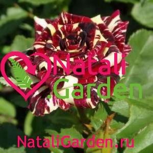 Саженцы роз Абракадабра (Abracadabra)