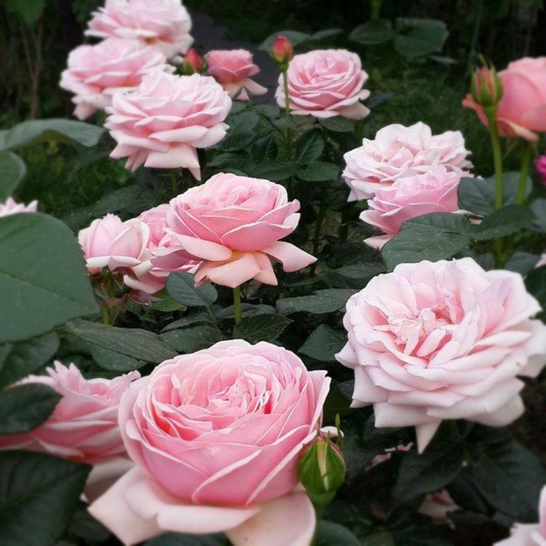 Саженцы роз Афродита (Aphrodita)