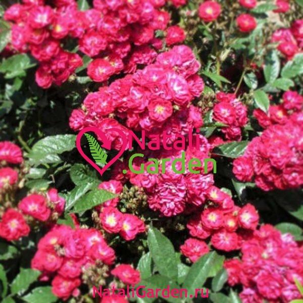 Саженцы роз флорибунда Альберих (Alberich)