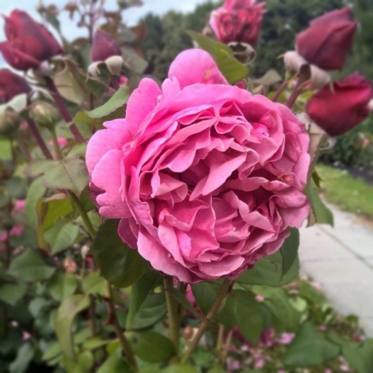 Саженцы роз Антон Чехов (Line Renaud, Anton Tchekhov)