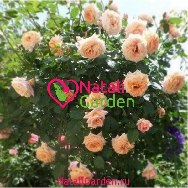 Саженцы плетистых роз Барок (Barock)
