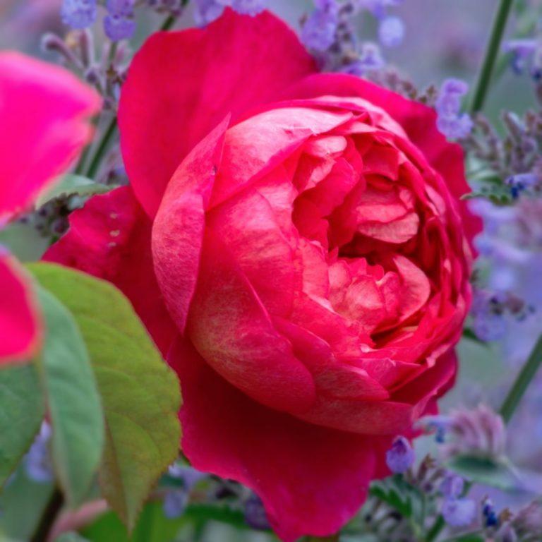 Саженцы роз Бенджамин Бриттен (Benjamin Britten)