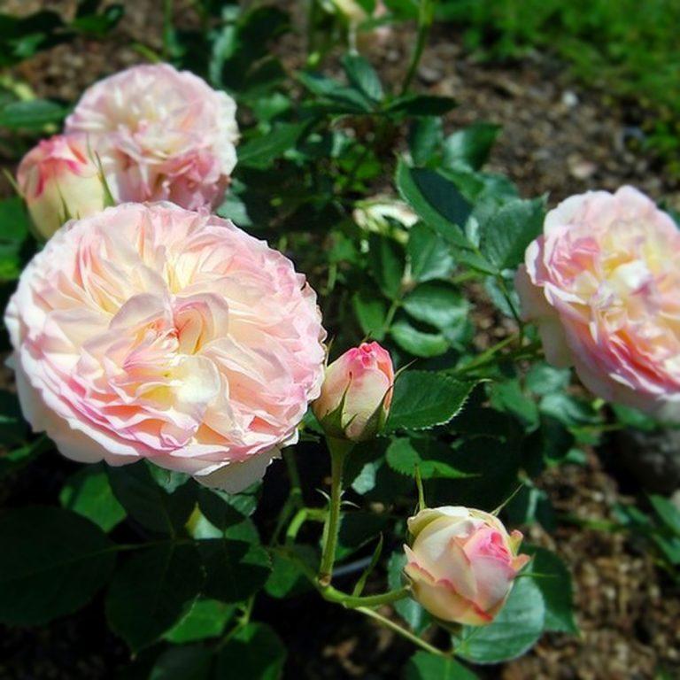 Саженцы роз Бидермейер (Biedermeier)
