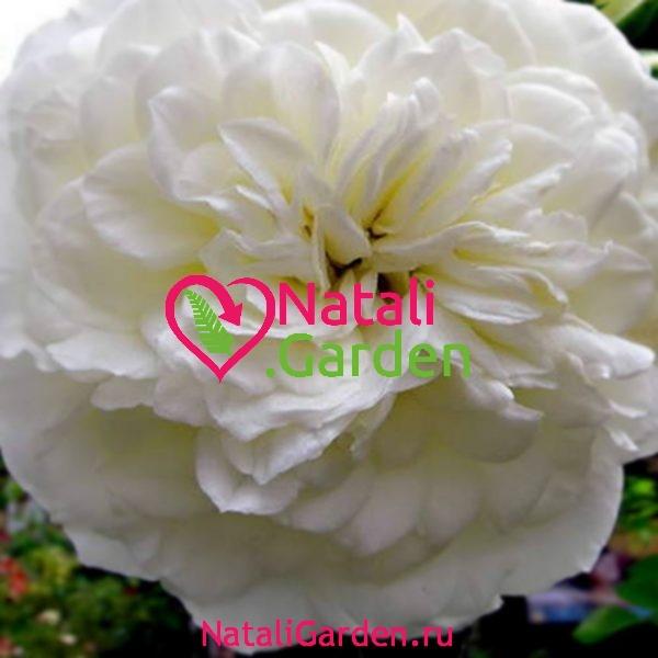 Саженцы роз Бланк Мейяндекор (Blanc Meillandecor)