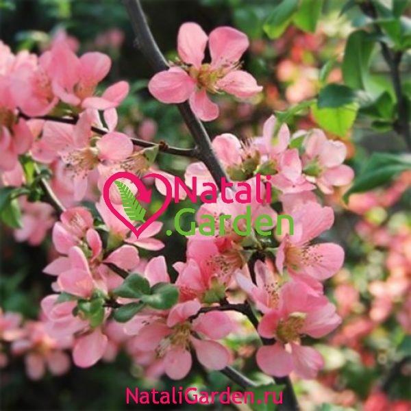 Саженцы Айва японская розовая Pink Lady