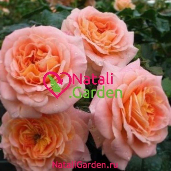 Саженцы плетистых роз Концерто (Concerto)