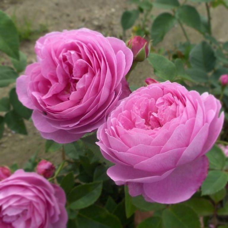Саженцы роз Гертруда Джекилл (Gertrude Jekyll)
