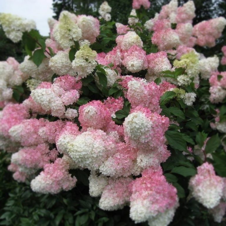 Гортензия метельчатая Ванилла Фрейз (Hydrangea paniculata Vanille Fraise)