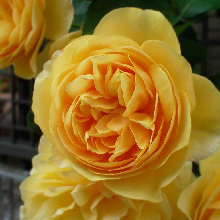 Саженцы роз Грэхэм Томас (Graham Thomas)
