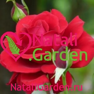 Саженцы роз Изабель Ренессанс шраб (Isabelle Renaissance)
