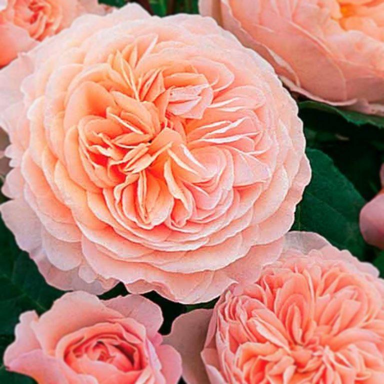 Саженцы роз Джульетта (Juliet)