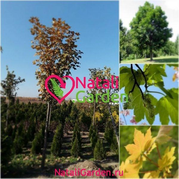Саженцы Клен ложноплатановый (Acer pseudoplatanus)