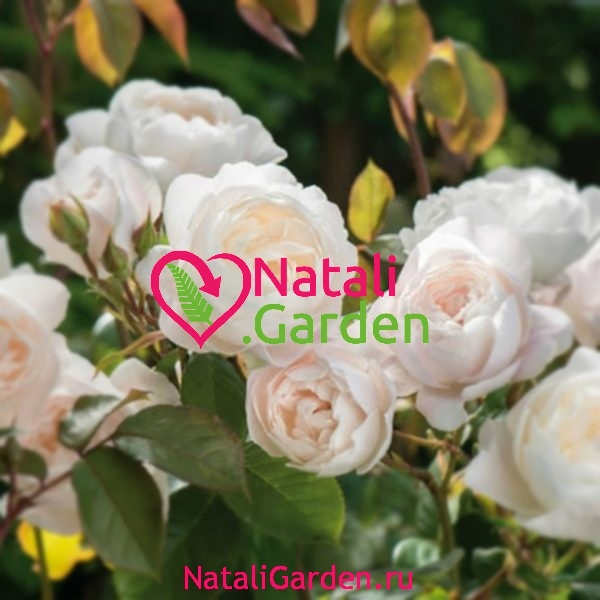 Саженцы роз Клэр Остин шраб (Claire Austin)
